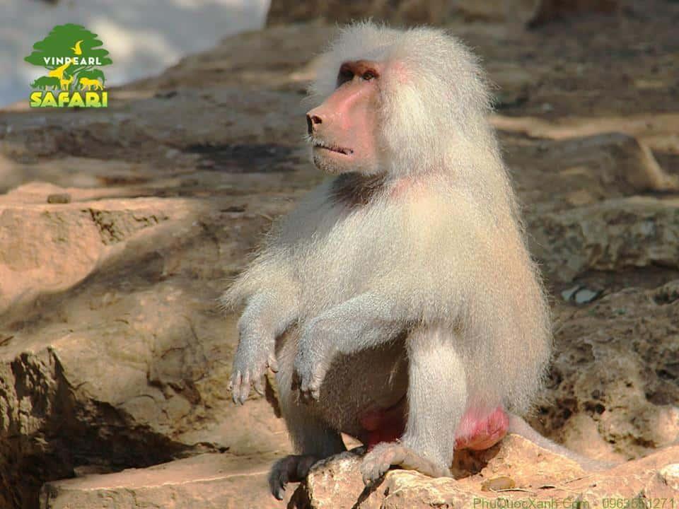 Khỉ đuôi lợn Safari Phú Quốc